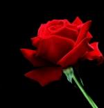 صورة الورد الجوري