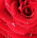 صورة ورد احمر جميل جدا