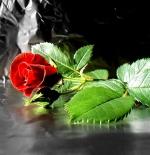 صورة الورود الجميلة