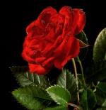 صورة وردة رائعة