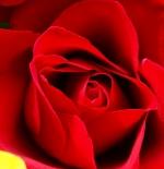 صورة ورد احمر رائع