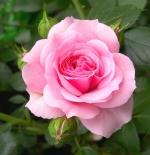 صورة ورد زهري جميل