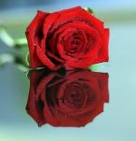 صورة وردة حمراء