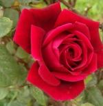 صورة وردة رومانسية جميلة