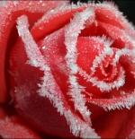 صورة الوردة الحمراء الجميلة جدا