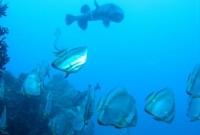 السماك في موريشوس