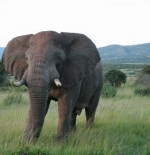 masaai mara elephant