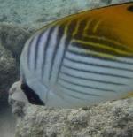الاسماك في جزيرة هاواي