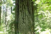 شجرة ضخمة بواشنطن