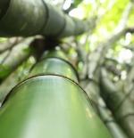 أشجار الخيزران في البرازيل