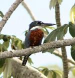 طائر الأمازون الرفراف في البرازيل