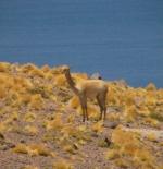 A lama at the andes mountain lakes