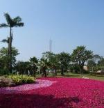 الزهور في جوانزو