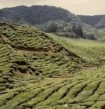 مزارع الشاي