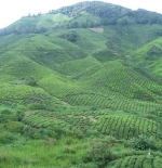 Cameron Highlands – Tea plantation