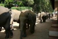 قطيع من الفيلة في بنتوتا