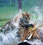 النمور في شيانج ماي