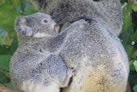 Mummy and baby Koala