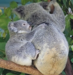 Mummy and baby Koala