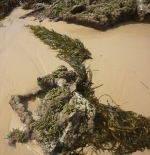 Seaweed at Mystery Bay