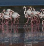 طيور النحام  في لارناكا