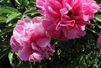 نباتات الفاوانيا