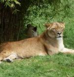 لبؤة في حديقة حيوان اوكلاند