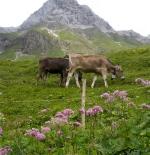 الأبقار النمساوية