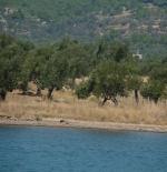 Olive Trees on the Aegean