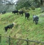 الأبقار في أوكلاند
