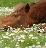 صورة حصان مستلقي