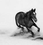 صورة الحصان الأسود