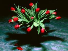 صورة ازهار توليب حمراء
