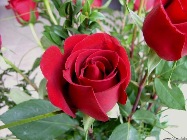 http://photos.mrkzy.com/wp-content/uploads/photos-mrkzy-roses-19444.jpg
